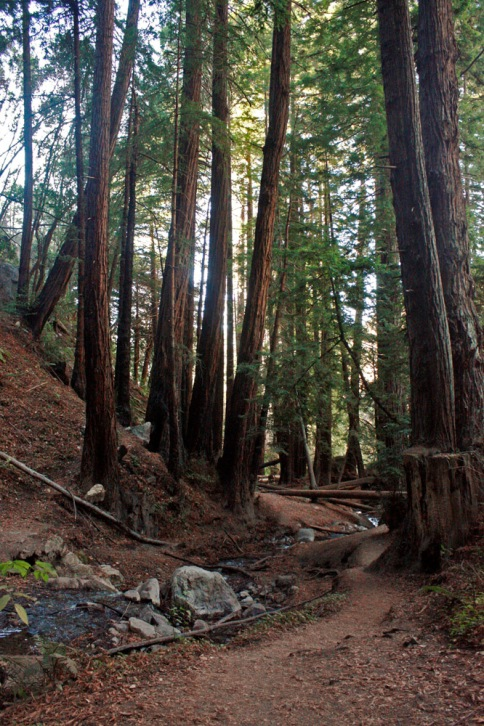 Redwood forest on the Ewoldsen Trail.