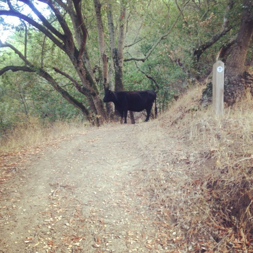 Never had a trail run stopped by a cow before...we were about to turn around anyway.