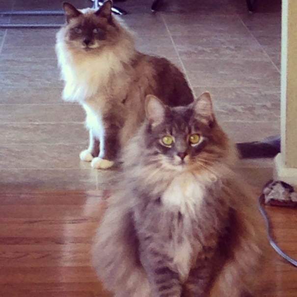 My very fluffy cats, in full stare-down mode.