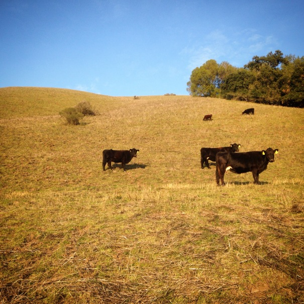 So many cows at Ramage Peak today.